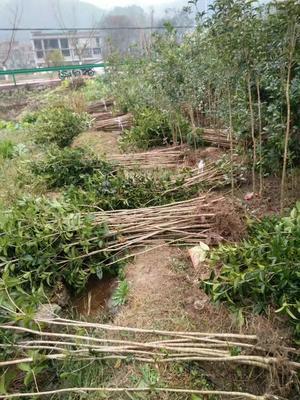 贵州省黔东南苗族侗族自治州凯里市丹桂