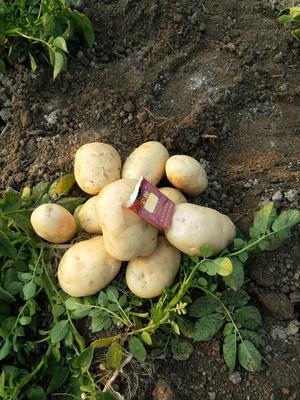 北京通州区荷兰15号土豆 4两以上
