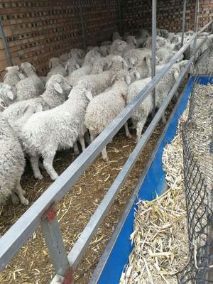 山西省忻州市忻府区小尾寒羊 50-80斤