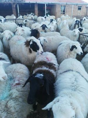 贵州省六盘水市盘县草原绵羊 80-110斤