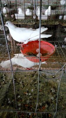 这是一张关于肉鸽蛋 孵化 箱装的产品图片