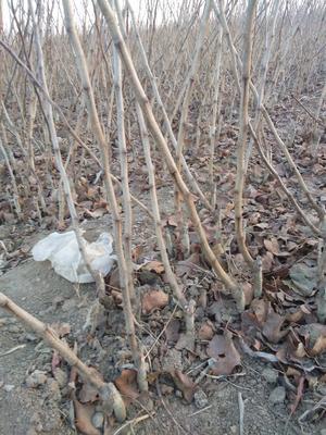 这是一张关于甜红子山楂苗的产品图片