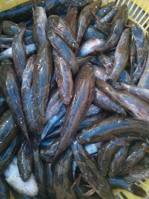广西壮族自治区南宁市西乡塘区笋壳鱼 野生 0.5公斤以下