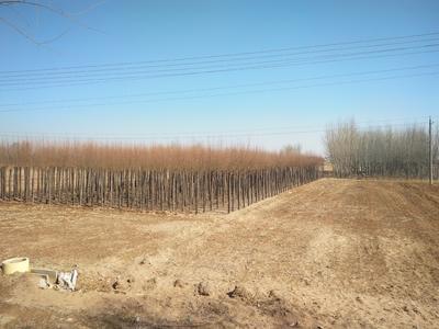 这是一张关于旱柳的产品图片
