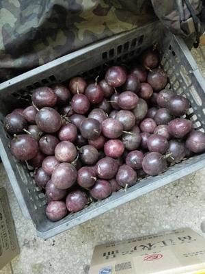 广东省中山市中山市紫红色百香果 40 - 50克