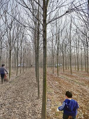 山东省济宁市任城区速生白蜡 3~3.5米