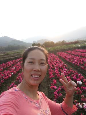 广西壮族自治区桂林市荔浦县西洋鹃 0.5米以下