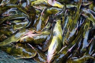 上海青浦区池塘黄颡鱼 人工殖养 0.05龙8国际官网官方网站