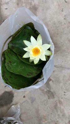 云南省昆明市呈贡区睡莲