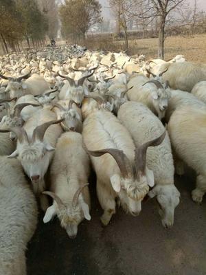 山西省忻州市忻府区绵羊 50-80斤