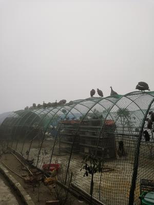 湖南省岳阳市平江县灰色珍珠鸡 2-4斤
