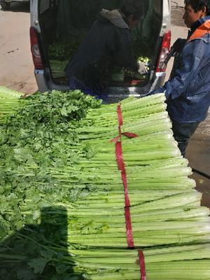 河南省郑州市中牟县法国皇后芹菜 45~50cm 露天种植 0.5斤以下