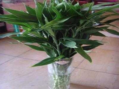 这是一张关于富贵竹的产品图片