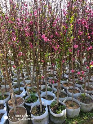 这是一张关于嫁接桃树苗 1~1.5米的产品图片