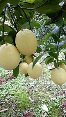 这是一张关于尤力克柠檬 1.6 - 2两的产品图片