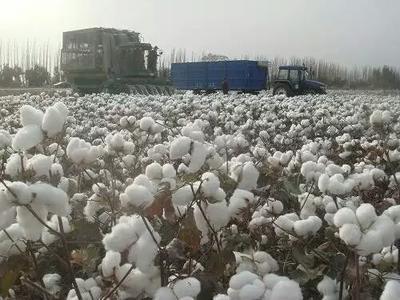 这是一张关于新疆棉花 的产品图片