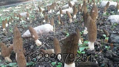 这是一张关于羊肚菌的产品图片