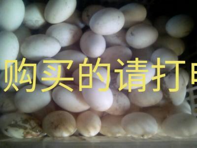 吉林省白城市洮北区土鹅蛋 食用 散装
