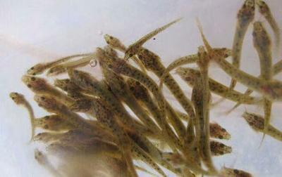这是一张关于台湾泥鳅苗 的产品图片