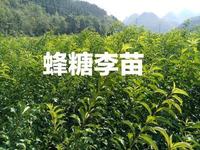 贵州省安顺市镇宁布依族苗族自治县蜂糖李苗