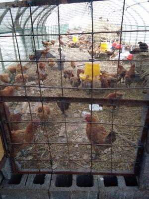 这是一张关于三黄鸡 公 6-7斤的产品图片