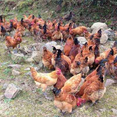 这是一张关于土鸡 公 5-6斤 的产品图片