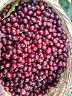 云南省保山市隆阳区保山小粒咖啡生豆