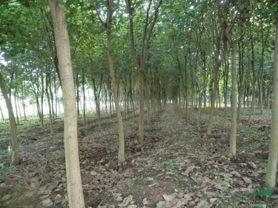 广西壮族自治区河池市宜州市宫粉紫荆树