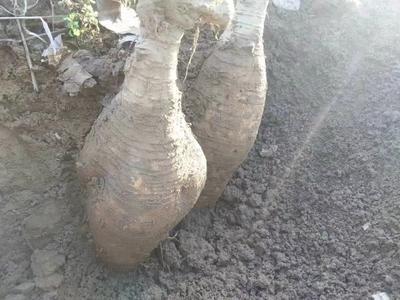 广西壮族自治区梧州市藤县葛根干 袋装 6-12个月