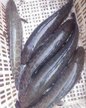 广西壮族自治区来宾市武宣县乌鳢 人工养殖 1-1.5公斤