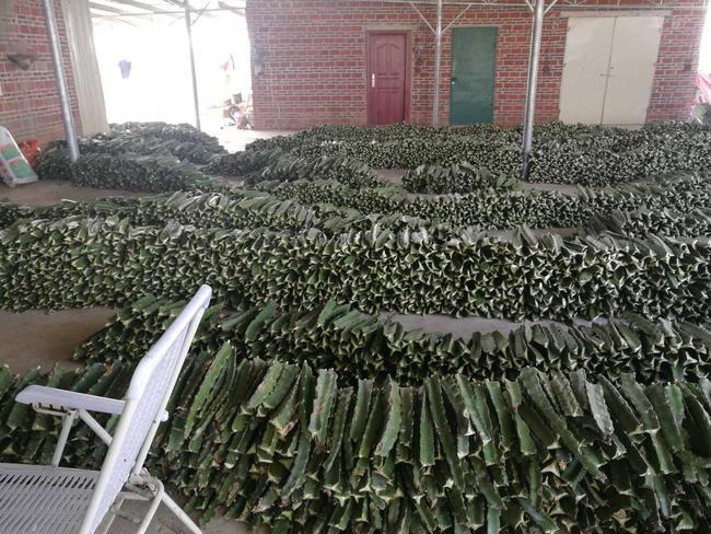 火龙果种子