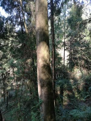 重庆万州区金丝楠木