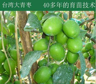 广西壮族自治区钦州市灵山县大青枣种子