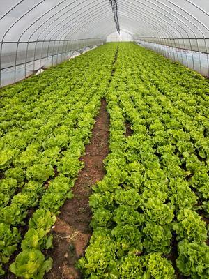 安徽省蚌埠市淮上区香芹 50~55cm 大棚种植 0.5斤以下