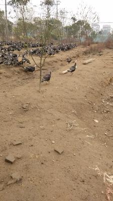 江西省宜春市樟树市青铜火鸡 5-10斤