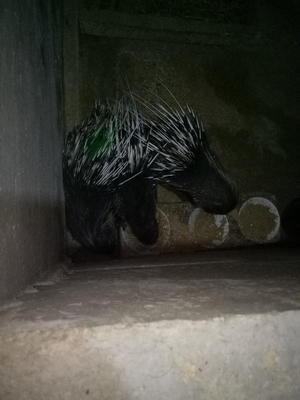 广西壮族自治区贺州市八步区长刺豪猪 20-30斤