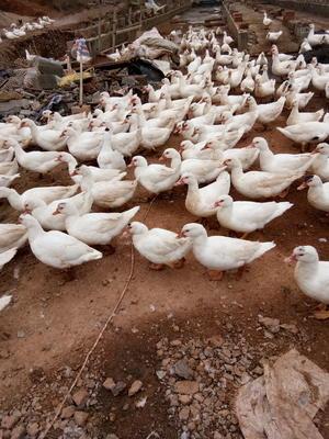这是一张关于蛋鸭 母 全散养 6-7斤的产品图片