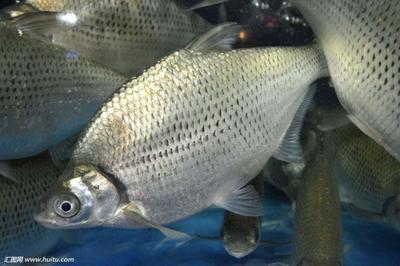 上海青浦区池塘鳊鱼 人工养殖 1-1.5龙8国际官网官方网站