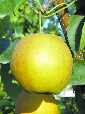 玉露香梨树苗 1~1.5米