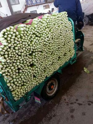 河北省邯郸市永年县法国皇后芹菜 50~55cm 大棚种植 0.5斤以下