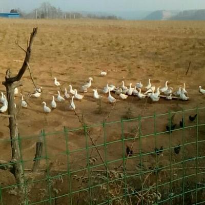 陕西省铜川市王益区鲜鹅蛋 食用 散装