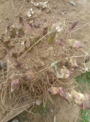 山东省菏泽市牡丹区宽叶美人蕉 4~6cm 0.5~1米