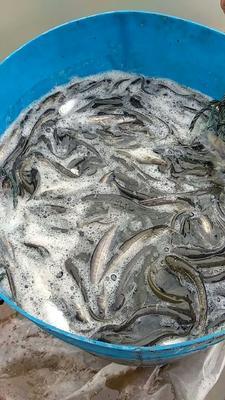 重庆潼南县大口鲶鱼 人工养殖 0.5公斤以下
