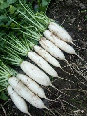 贵州省遵义市仁怀市韩国白萝卜 1.5~2斤