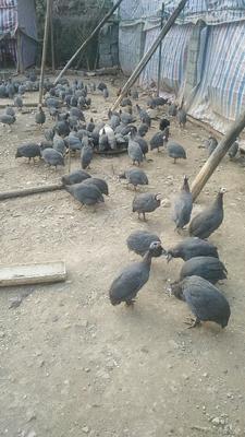 湖南省益阳市安化县灰色珍珠鸡 2-4斤