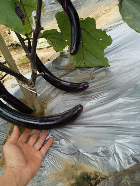 紫長茄 4兩以上