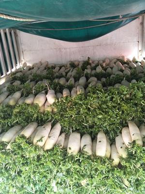 贵州省安顺市西秀区白萝卜 2.5~3斤