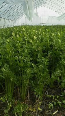 山东省菏泽市东明县法国皇后芹菜 45~50cm 大棚种植 0.5~1.0斤