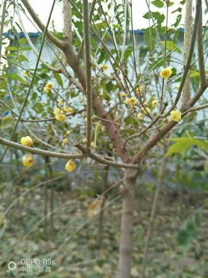 河南省许昌市鄢陵县素心腊梅 2~2.5米