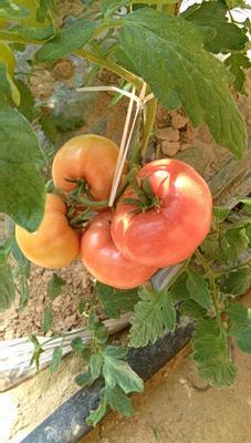 内蒙古自治区赤峰市翁牛特旗硬粉柿子 3 - 4两以上